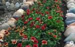 Осенние цветы для посадки