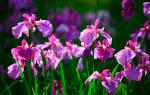 Виды ирисов в дизайне сада и их фото