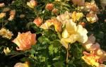 Роза морден санрайз