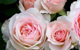 Роза моден блаш – описание