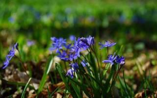 Луковичные цветы пролески в саду