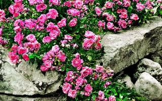 Разновидности ковровых роз