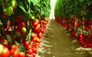 Лучшие сорта индетерминантных томатов для теплиц