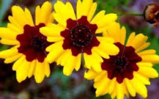 Цветы для клумбы фото с названиями однолетники