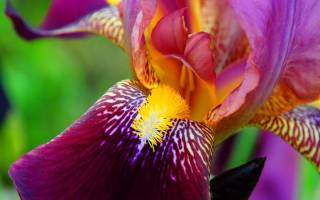 Как выглядят ирисы и фото цветов