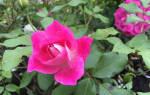 Сорта бордюрных роз с фото и названиями