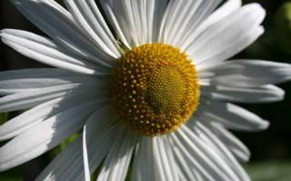 Левкантемелла поздняя или хризантема осенняя поздняя