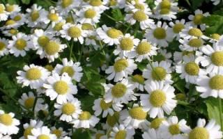 Маленькие цветы похожие на ромашки