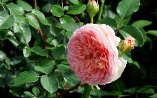 Розы остинки сорта и фото