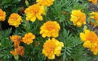 Бархатцы описание растения