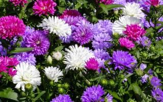 Лучшие садовые астры самые популярные сорта