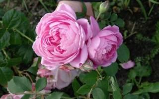 Роза аленушка красивый устойчивый и надежный сорт