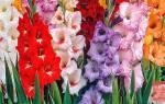 Выращивание гладиолусов посадка и уход полезные советы