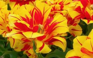 Ранние и поздние сорта тюльпанов