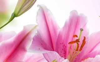 Как посадить лилию луковицей