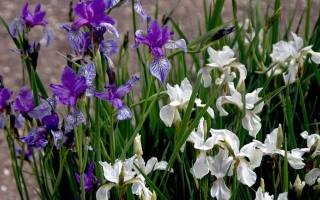 Ирисы сибирские фото выращивание и уход
