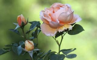 Роза не цветет одичание куста