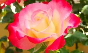 Цветы чайно гибридные розы в саду с фото