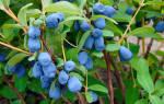 Выращивание жимолости – посадка уход и сорта
