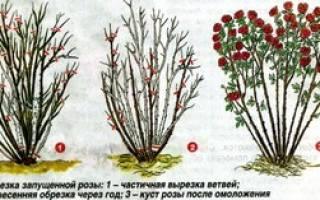 Подготовка роз к зимовке