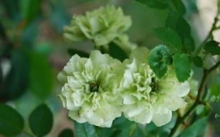 Сорта зеленой розы