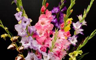 Как сохранить гладиолусы до весны здоровыми