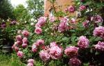 Сорта роз шрабов с фото и описанием