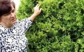 Когда стричь хвойные растения