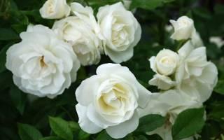 Роза white licorice