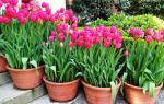 Когда высаживать тюльпаны