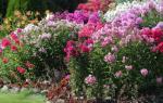 Клумба с флоксами виды цветов и их сочетаемость с другими растениями