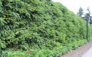 Какие растения подходят для живой изгороди