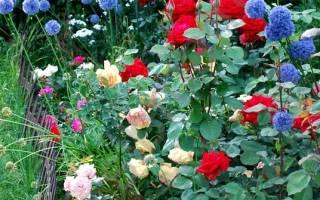 Роза ред голд фото и описание