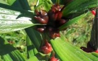 Выращивание лилий из бульбочек