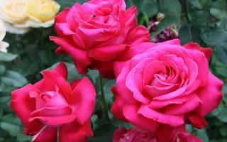 Сезонный уход за чайно гибридной розой
