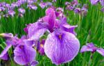 Как выглядит и где растет цветок ирис