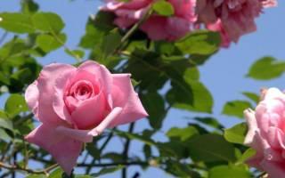 У какой розы 7 листьев