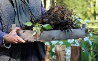 Когда выкапывать георгины и как их хранить