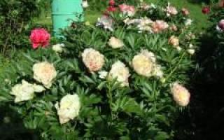 Ито гибриды пионов сорта для выращивания научастке