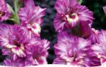 Как выращивать цветы гладиолусы