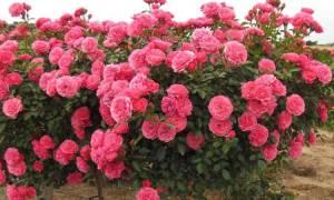 Розы флорибунда сорта с фото и описанием