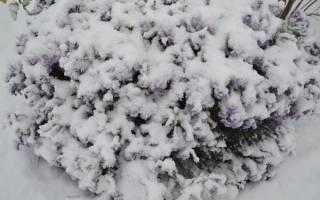 Как подготовить клематисы к зиме