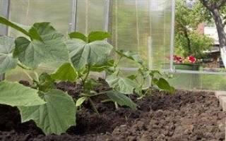 Особенности выращивания огурцов в теплице