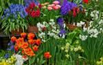 Весенние луковичные цветы фото и названия