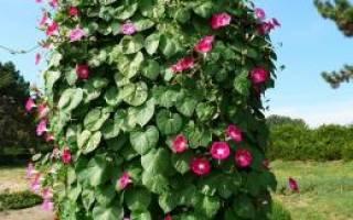 Однолетние лианы которые выращивают прямым посевом в грунт