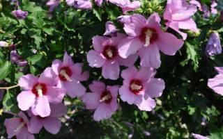 Гибискус цветок садовый