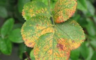 Причины заражения роз грибковыми возбудителями