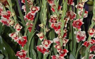 Крупноцветковые гибриды гладиолусов