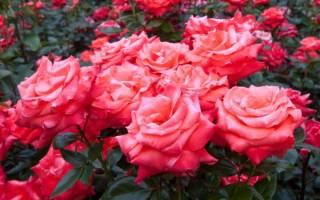 Подрезка роз осенью