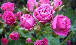 Розы флорибунда характеристика видео